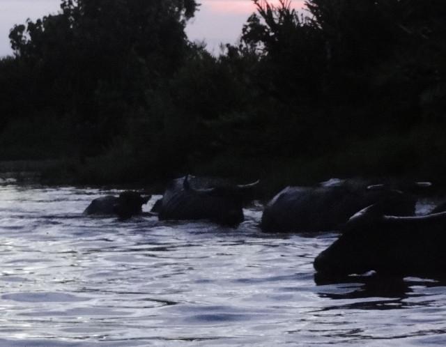 9 - Vattenbufflar