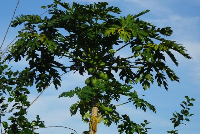 5 - Papaya högt upp